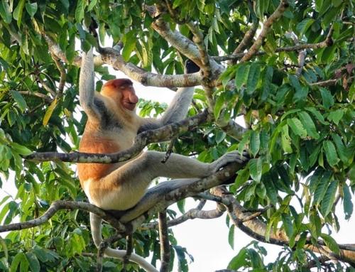 میمون دماغ دراز