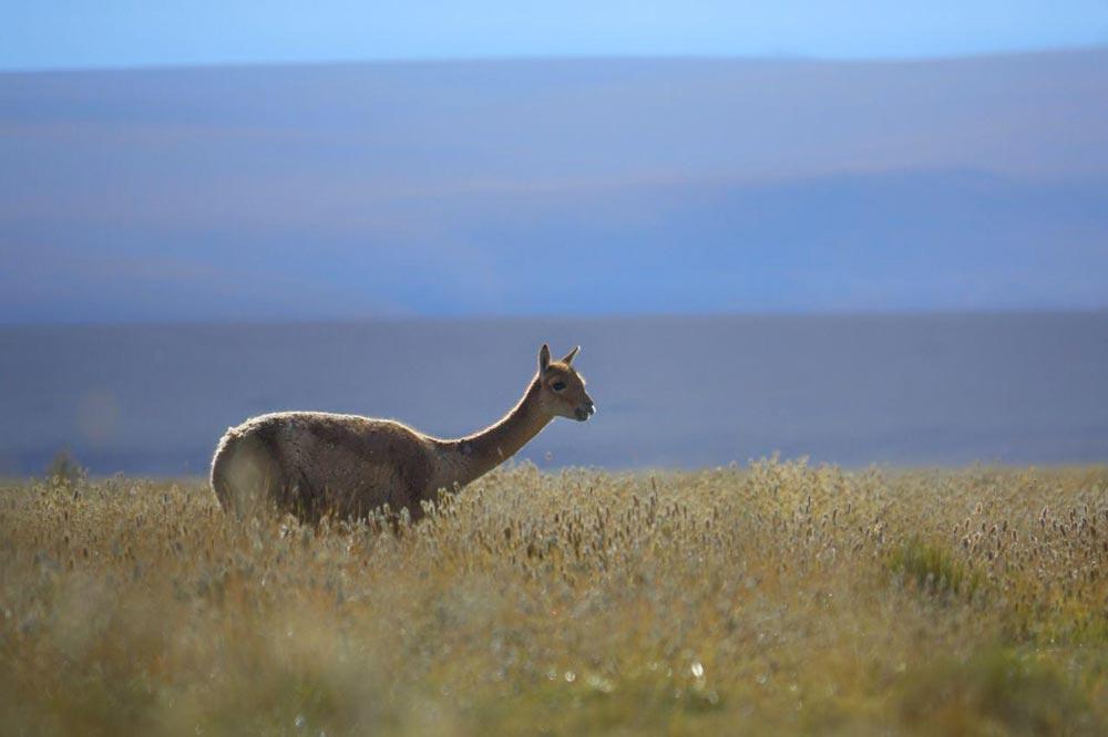 شتر کوهی لاما