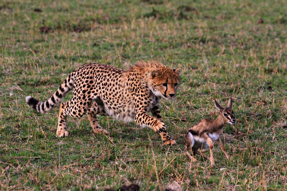 شکار یوزپلنگ