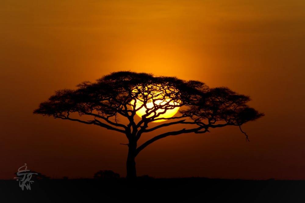 درخت آکاسیا
