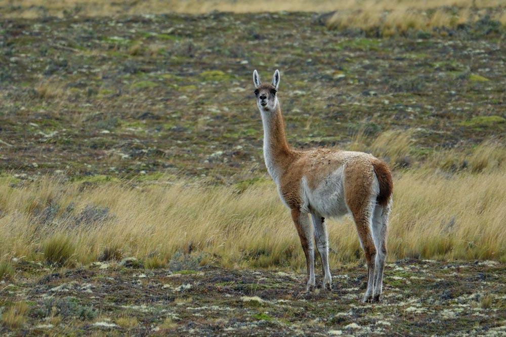 لاما شتر کوهی آمریکای جنوبی