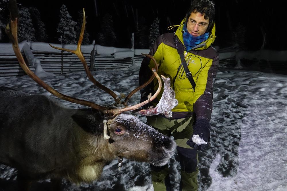 گوزن قطبی - گوزن های شمالی