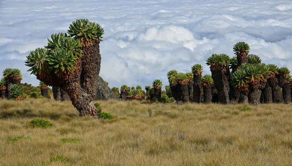 پوشش گیاهی مسیر کلیمانجارو
