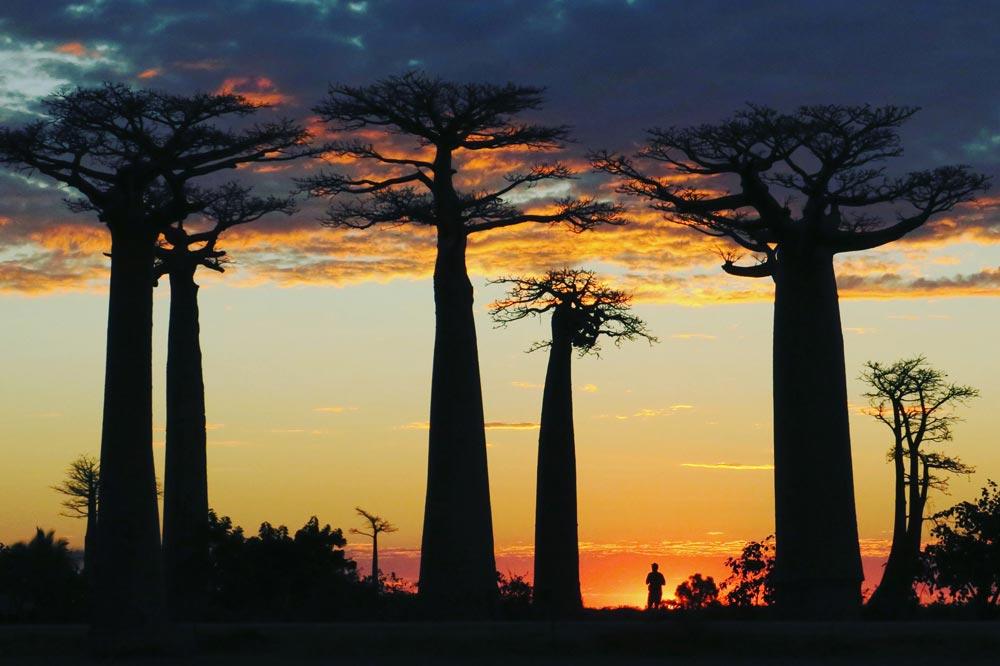 درختان باوباب