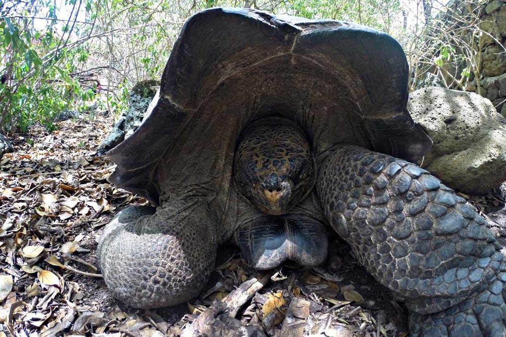 سایت نگهداری از لاکپشت های غول پیکر گالاپاگوس