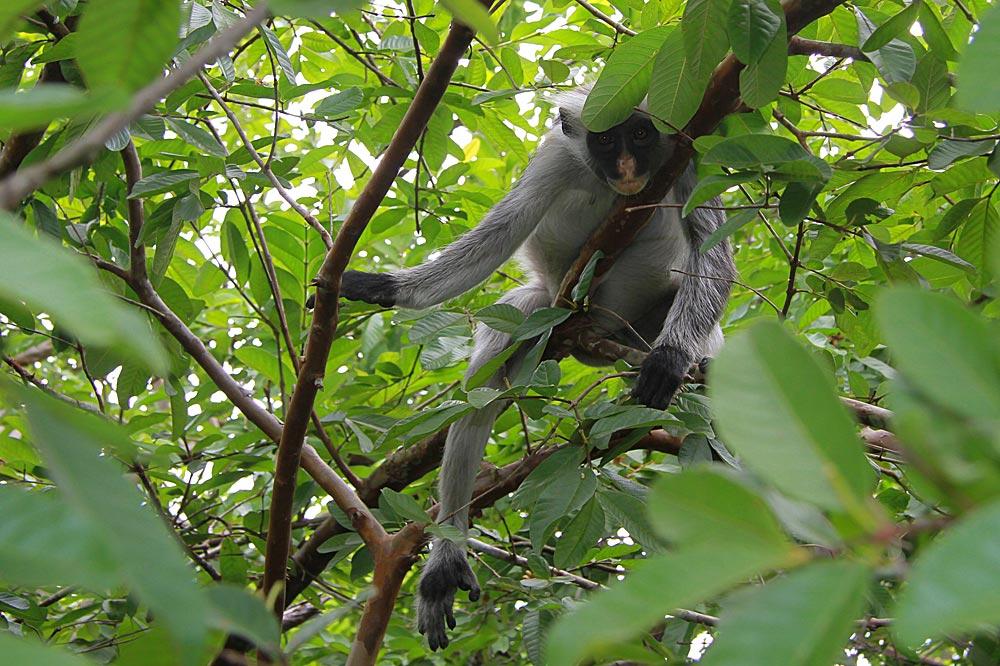 میمون کلبوس قرمز - حیات وحش زنگبار