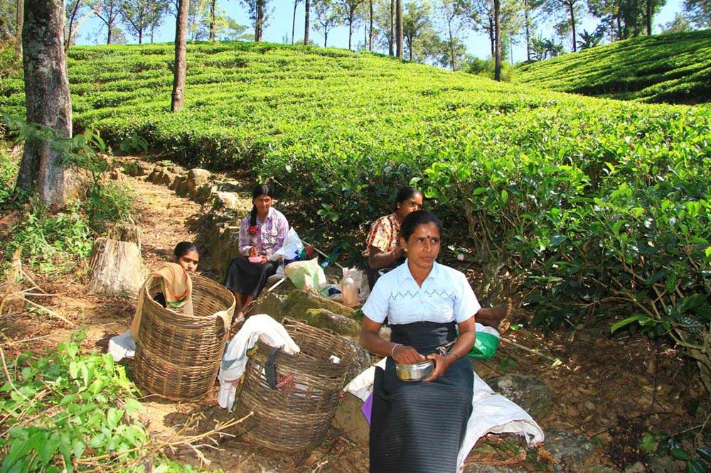 مزارع چای سریلانکا
