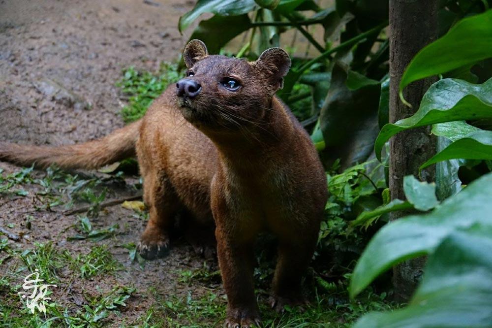 فوسا - جانور گوشتخوار و درنده ماداگاسکار