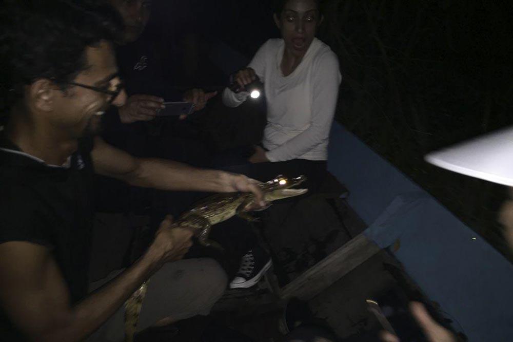 تمساح کیمن الیگاتور
