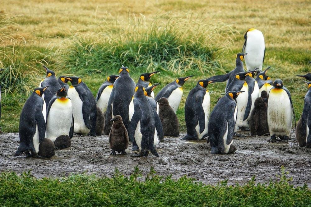 تور شیلی - پنگوئن پادشاه